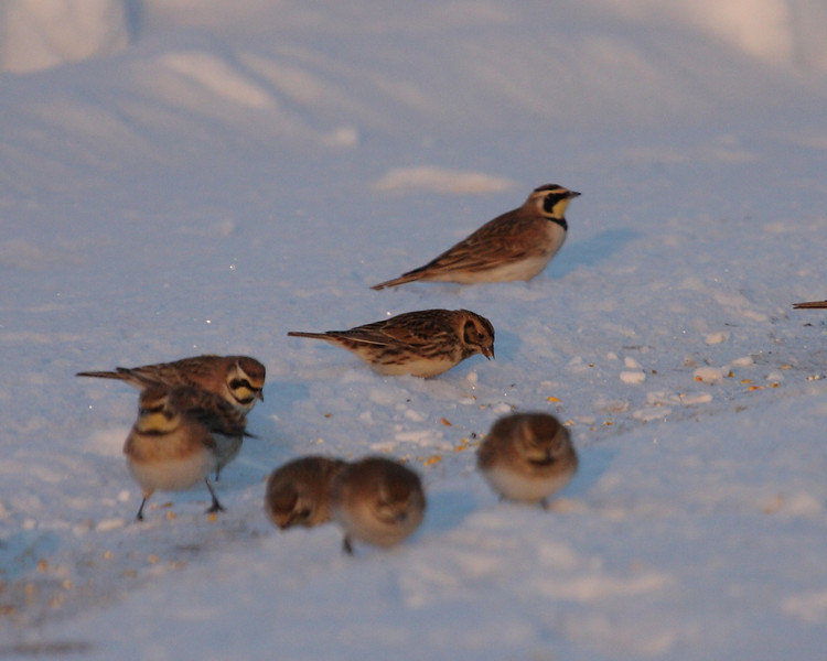 Lapland Longspur centered among a group of Horned Larks.  2-15-10.