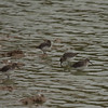 Dunlins at Leonard's Pond (Faughts Rd. west of Cross Keys Rd; north of Weyers Cave, VA)
