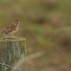 Savannah Sparrow at Leonard's Pond.