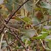 Lincoln's Sparrow, Hone Quarry Recreation Area