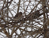American Tree Sparrow, Fort Lynn Rd.