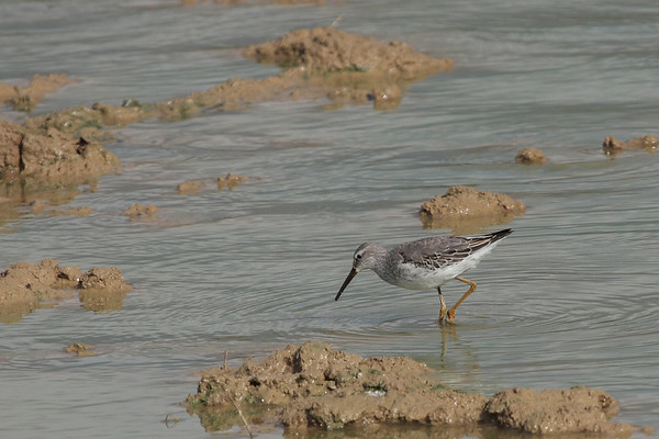 Leonard's Pond, Rockingham County- Stilt Sandpiper - Oct 31, 2009