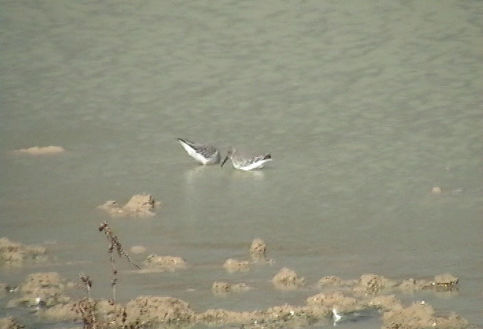 Video of Dunlin and Stilt Sandpiper (best with volume down; there's lots of wind noise.)