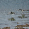 Stilt Sandpiper (right) and Dunlin.