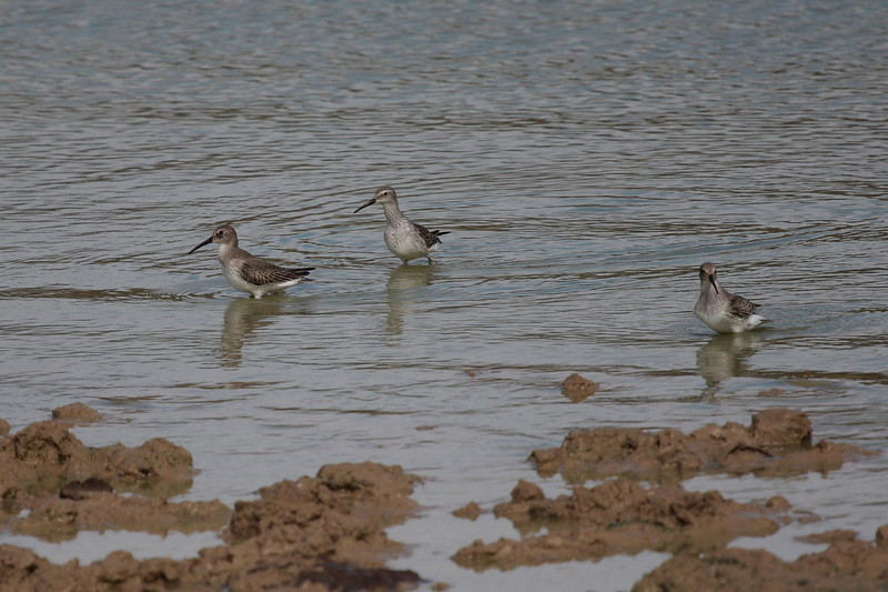 Stilt Sandpiper center, with Dunlin.