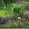 2014-06-12_IMG_1667_Roseate Spoonbill   Sawgrass Park,St Pete,Fl _