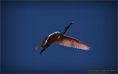 Bald Eagles shoot, 2013-12-22,Palm Harbor,Fl _IMG_2597_