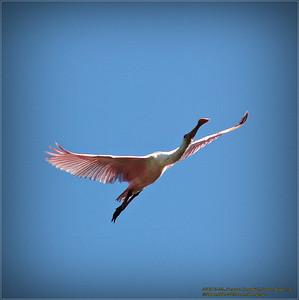 Bald Eagles shoot, 2013-12-22,Palm Harbor,Fl _IMG_2598_