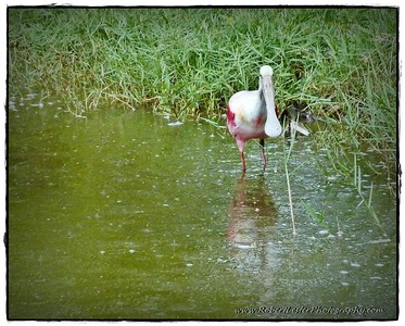 2016-05-29_P1140892_ Roseate Spoonbilll (IMM),Pinnellas Park,Fl