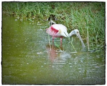 2016-05-29_P1140895_ Roseate Spoonbilll (IMM),Pinnellas Park,Fl