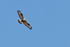 Rough-legged Hawk<br /> Augusta Co., VA 2-12-11