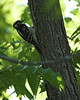 Runge-5612-woodpecker