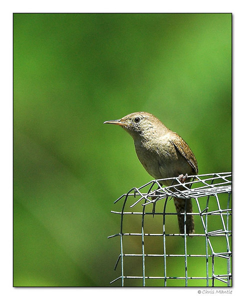 House Wren-DSC_7257-framed