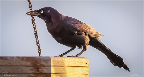 P6150012_art4,Rusty Blackbird_