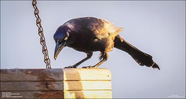 P6150027_art4,Rusty Blackbird_