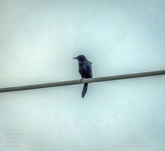 _A290227_ Rusty Blackbirdr_   tonywarm,nr150