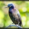 2017-03-27_P3270011_Rusty Blackbird,Clwtr,fl