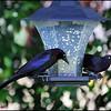 Rusty Blackbird....May 25, 2011.....Clearwater, Florida