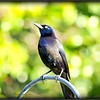 2017-03-27_P3270010_Rusty Blackbird,Clwtr,fl