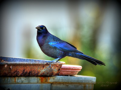 2018-01-15  _P1150006_ Rusty Blackbird