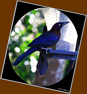 Rusty Blackbird....Clearwater, Florida...Jan. 01, 2012