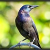 2017-03-27_P3270009_Rusty Blackbird,Clwtr,fl