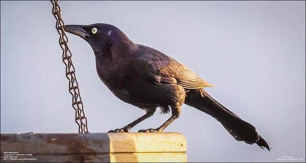 P6150022_art4,Rusty Blackbird_