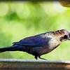 2017-03-27_P3270007_Rusty Blackbird,Clwtr,fl