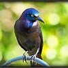2017-03-27_P3270012_Rusty Blackbird,Clwtr,fl