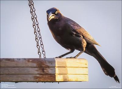 P6150003_art4,Rusty Blackbird_