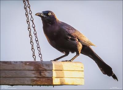 P6150002_art4,Rusty Blackbird_