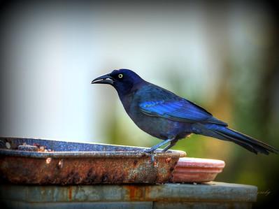 2018-01-15  _P1150005_ Rusty Blackbird