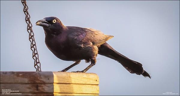 P6150011_art4,Rusty Blackbird_