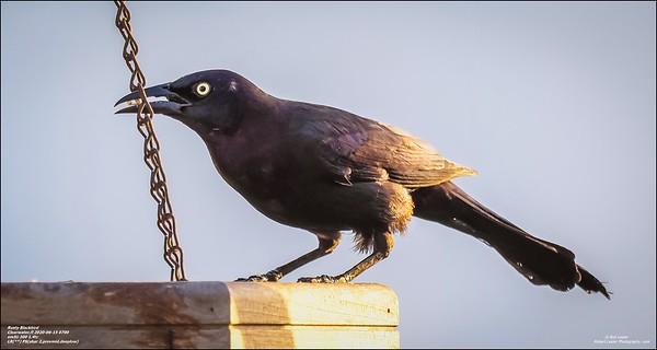 P6150028_art4,Rusty Blackbird_