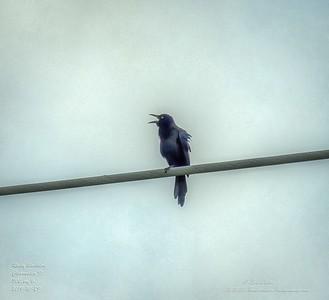 _A290226_ Rusty Blackbirdr_   tonywarm,nr150