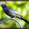 2017-03-27_P3270008_Rusty Blackbird,Clwtr,fl