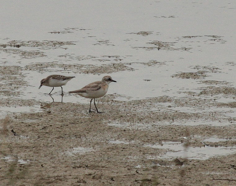 Least Sandpiper, left, with Sand-plover