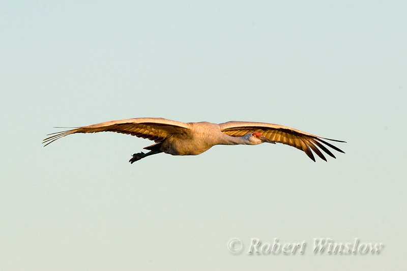 Sandhill Crane Flying, Grus canadensis, Bosque del Apache National Wildlife Refuge, New Mexico, USA, North America