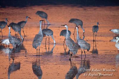 Flash used, Sandhill Crane, Grus canadensis, Bosque del Apache National Wildlife Refuge, New Mexico, USA, North America