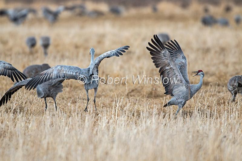 Sandhill Cranes, Grus canadensis, dancing, behavior, Monte Vista National Wildlife Refuge, Colorado, USA, North America
