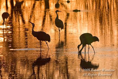 Sandhill Cranes, Grus canadensis, Bosque del Apache National Wildlife Refuge, New Mexico, USA, North America
