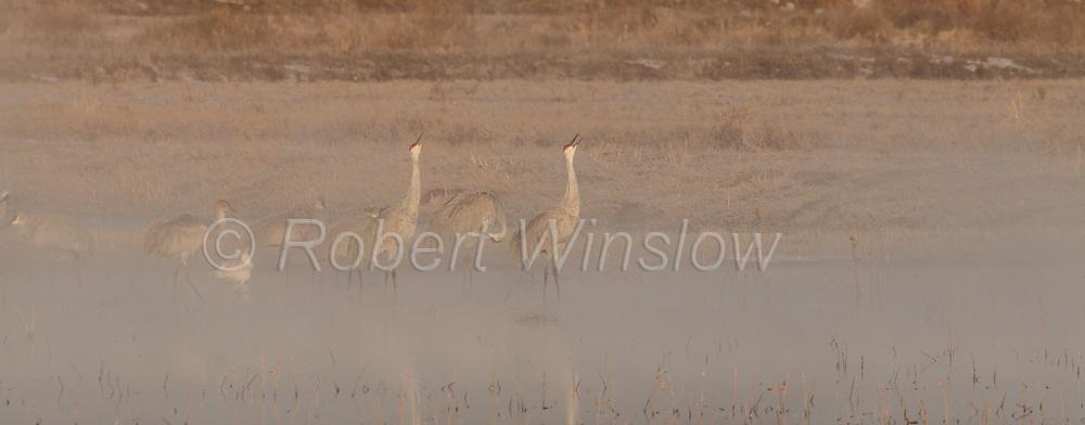 Unison Call, Sandhill Crane, Grus canadensis, Bosque del Apache National Wildlife Refuge, New Mexico, USA, North America