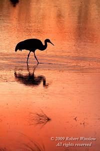 Evening, Sunset, Sandhill Crane, Grus canadensis, Bosque del Apache National Wildlife Refuge, New Mexico, USA, North America