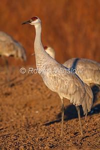 Sandhill Crane, Grus canadensis, Bosque del Apache National Wildlife Refuge, New Mexico, USA, North America