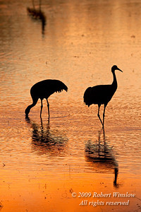 Evening, Sunset, Two Sandhill Cranes, Grus canadensis, Bosque del Apache National Wildlife Refuge, New Mexico, USA, North America