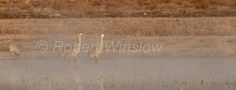 Unison Call, Sandhill Crane, Grus canadensis, Bosque del Apache National Wildlife Refuge, New Mexico, USA, North America
