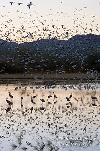 Evening, Sandhill Cranes, Grus canadensis,on Water, Snow Geese Flying and Reflected in Water, Bosque del Apache National Wildlife Refuge, New Mexico, USA, North America