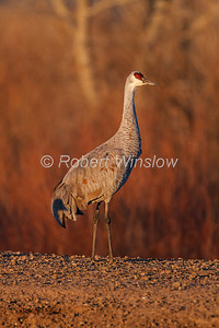 Sandhill Crane, Grus canadensis, Bosque del Apache National Wildlife Refuge, New Mexico, USA, North America