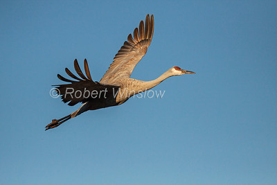 Sandhill Cranes, Grus canadensis, Flying, Bosque del Apache National Wildlife Refuge, New Mexico, USA, North America