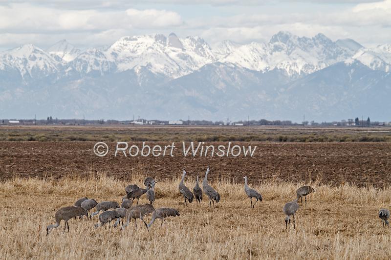 Sandhill Cranes, Grus canadensis, Monte Vista National Wildlife Refuge, Colorado, USA, North America